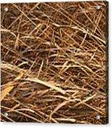 Brown Reeds Acrylic Print