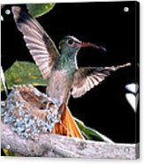 Buff-bellied Hummingbird At Nest Acrylic Print