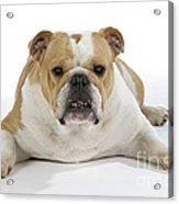 Bulldog, Female Acrylic Print