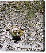 Bullfrog In The Mud Acrylic Print