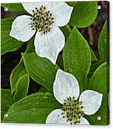 Bunchberry Acrylic Print