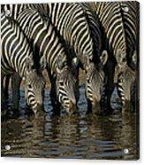 Burchells Zebra Equus Burchellii Herd Acrylic Print