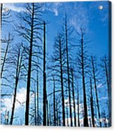 Burnt Pine Trees In A Forest, Grand Acrylic Print