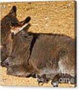 Burro Foal Acrylic Print