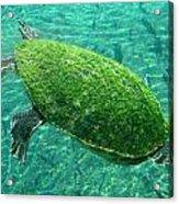 Busch Turtle  Acrylic Print