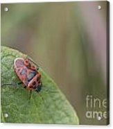 Cabbage Shield Bug Acrylic Print