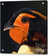 Cabots Tragopan Pheasant Acrylic Print