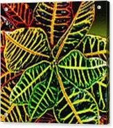 Cadiaeum Crotons Tropical Houseplant Shrub Acrylic Print