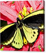 Cairns Birdwing Butterfly Acrylic Print