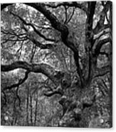 California Black Oak Tree Acrylic Print