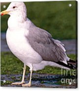 California Gull Acrylic Print