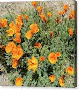 Californian Poppy Eschscholzia Acrylic Print