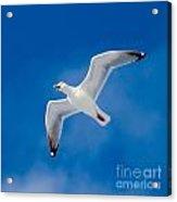 Calling Herring Gull Flying In Blue Sky Acrylic Print