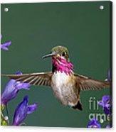 Calliope Hummingbird Stellula Calliope Acrylic Print