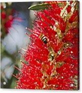 Callistemon Citrinus - Crimson Bottlebrush Acrylic Print