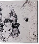 Calves, Gt Garnetts II Pen & Ink On Paper Acrylic Print