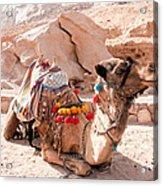 Sitting Camel Acrylic Print