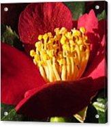 Camellia Flower Acrylic Print by Joyce Woodhouse