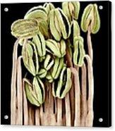 Camellia Flower Stamens, Sem Acrylic Print by Science Photo Library