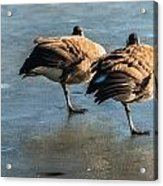 Canada Geese At Rest Acrylic Print