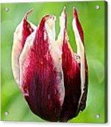 Candy Tulip Acrylic Print