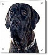 Cane-corso Dog Portrait Acrylic Print