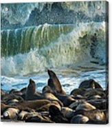 Cape Fur Seals Arctocephalus Pusillus Acrylic Print