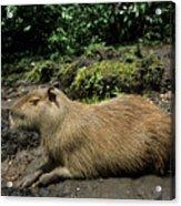 Capybara Acrylic Print