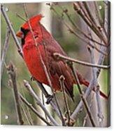 Cardinal 122 Acrylic Print