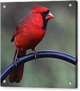 Cardinal Acrylic Print by John Kunze