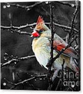 Cardinal On A Rainy Day Acrylic Print