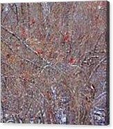 Cardinals Galore Acrylic Print