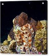 Caribbean Reef Octopus II Acrylic Print