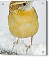 Carolina Wren In Winter Acrylic Print