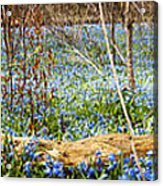 Carpet Of Blue Flowers In Spring Forest Acrylic Print