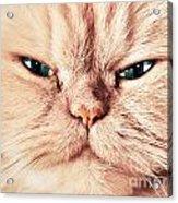 Cat Face Close Up Portrait Acrylic Print