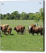Cattle Grazing Acrylic Print