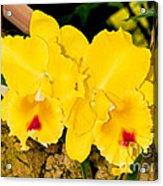 Cattleya Orchid Acrylic Print