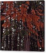 Cedar Acrylic Print