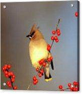 Cedar Waxwing (bombycilla Cedrorum Acrylic Print