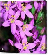 Centaury (centaurium Erythraea Erythraea) Acrylic Print