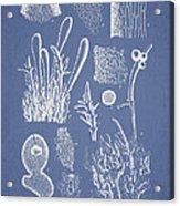 Ceratodictyon Spongiosum Zanard Acrylic Print by Aged Pixel