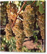 Chardonnay Grapes In Vineyard, Carneros Acrylic Print