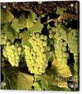 Chardonnay Wine Clusters Acrylic Print