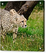 Cheetah Acinonyx Jubatus Big Cat  Acrylic Print