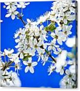 Cherry Blossom With Blue Sky Acrylic Print