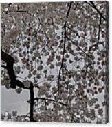 Cherry Blossoms - Washington Dc - 011342 Acrylic Print