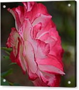 Cherry Cream Rose Acrylic Print
