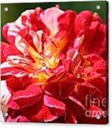 Cherry Petals Acrylic Print