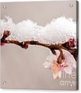 Cherryblossom With Snow Acrylic Print